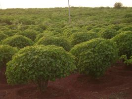 jatropha_plantation