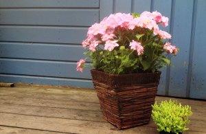 Hydrangea-Macrophylla-Messalina-pot