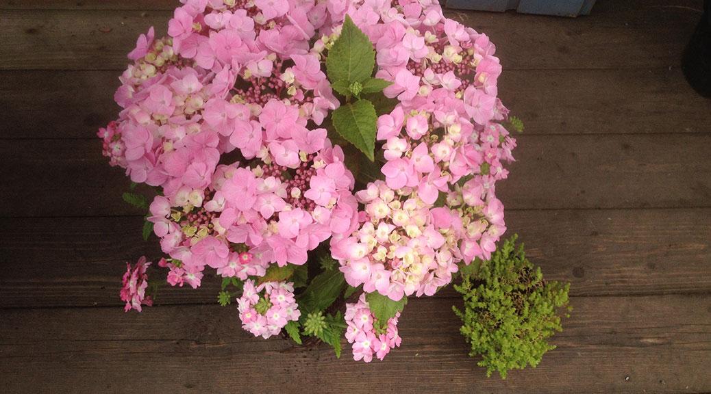 Hydrangea-Macrophylla-Messalina
