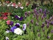 clonakilty-garden-petunia-pansy-viola