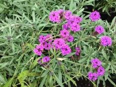 perennial flower westcork ireland10