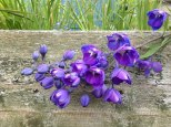 perennial flower westcork ireland13