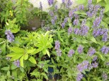 perennial flower westcork ireland3