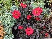 perennial flower westcork ireland4