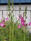 perennial flower westcork ireland5