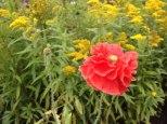 perennial flower westcork ireland7