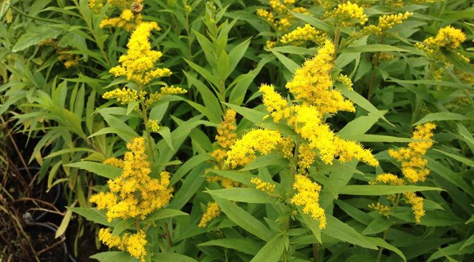 Planting Goldenrod – the butterfly magnet