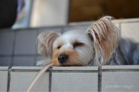 眠り ヨークシャーテリア 犬 昼寝