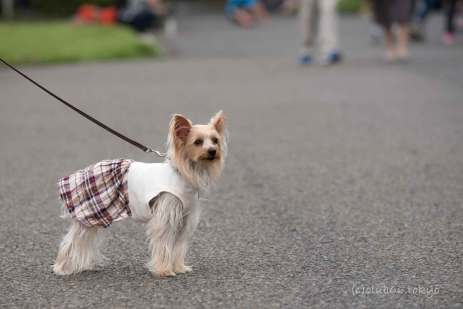 犬 ヨークシャーテリア 散歩 服