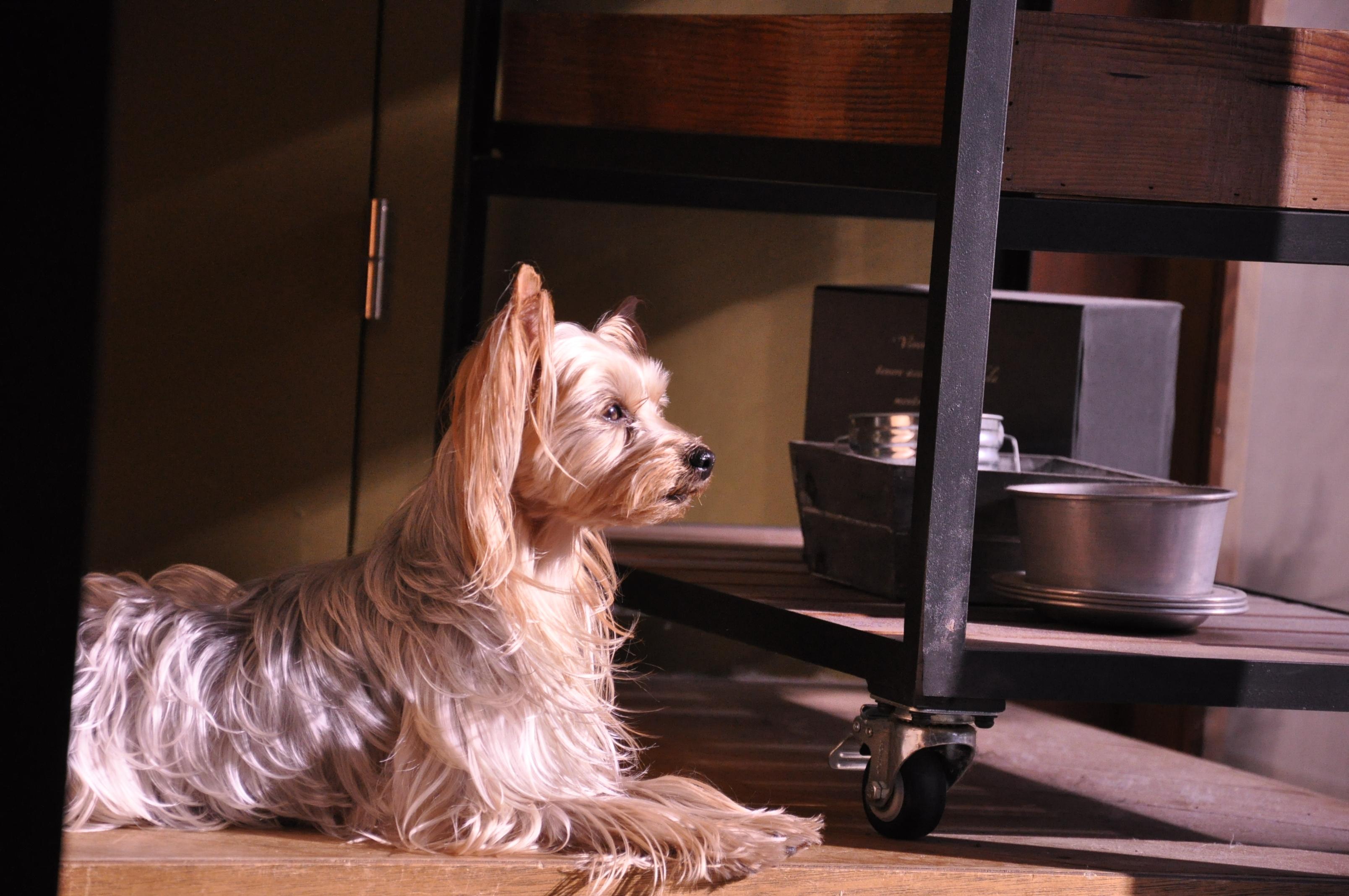 犬 年末年始 謹賀新年 ヨーキー