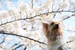 桜 ヨークシャーテリア 散歩 花見