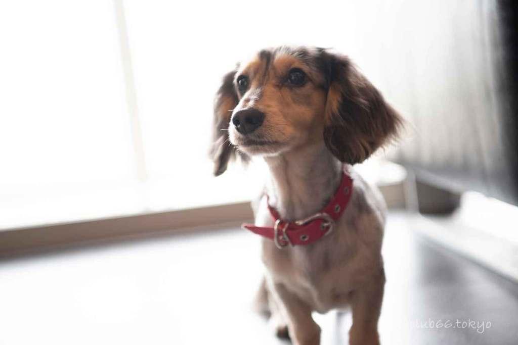 犬 ミニチュアダックス ドッグ リノベーション インテリア