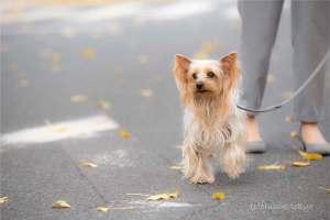 ヨークシャーテリア 犬 散歩 銀杏並木