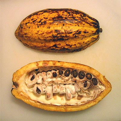 Coco&Me picture of a fresh cacao pod - open