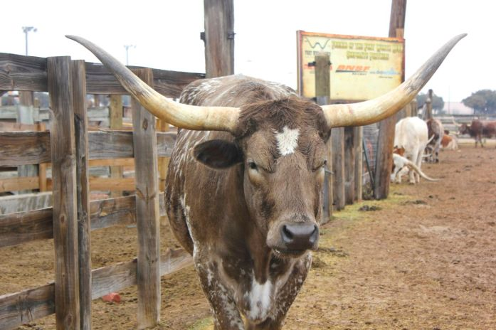 Fort Worth Stockyards with prized Texas Longhorns
