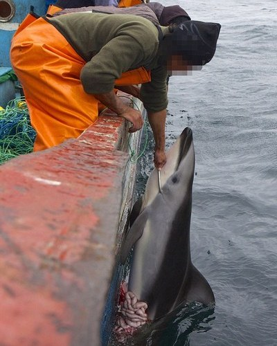 Fisherman haul up harpooned dolphin, Photo Source: Daily Mail UK
