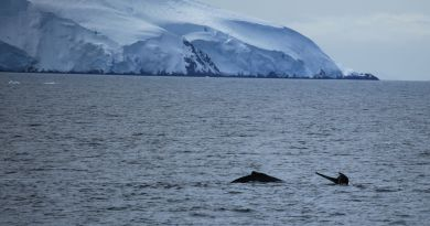 Humpback_Whales_in_the_Gerlache_Strait_Antarctica_(6295486061)