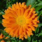 ringblomst spiselige blomster
