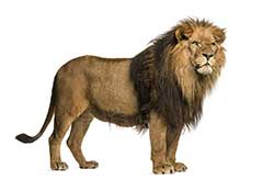 Lion definition and meaning   Collins English Dictionary picture of lion