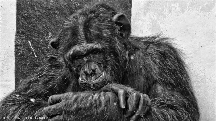 Chimpanzee Twycross Zoo Portrait Photography Chimpanzee Black & White