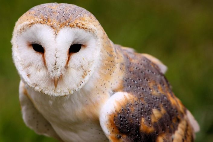 800px-Barn_Owl_-_Abingdon_2013_(8731175397)