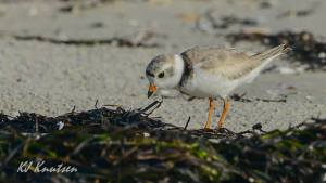 """One of the newest """"residents"""" of Island Beach State Park, an adult breeding piping plover. Photo courtesy of Kevin Knutsen."""