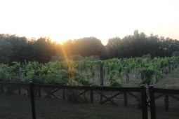 One of the many vineyards surrounding the Villa.