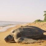 Halco Amber Bulbs – Light the Way for Baby Sea Turtles