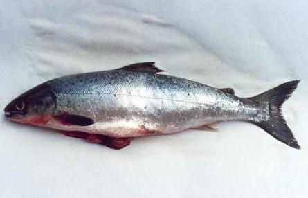 salmon sperm