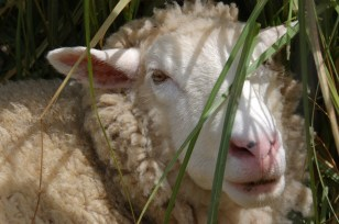 Nicht nur Hund und Katze, nein: auch Schafe und Schweine leben hier.