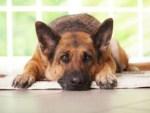 Filariosi cardiopolmonare nel cane: una malattia potenzialmente letale