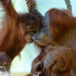Un orango non è un bambino Adottiamo quelli di Sandakan