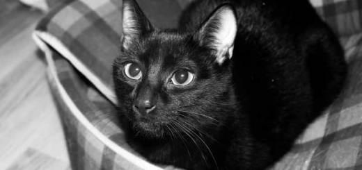 Un falso mito es el de que los gatos negros dan mala suerte | Foto: www.cosasdegatos.es
