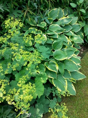 Alchemilla and Hosta