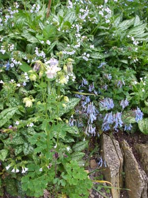 Aquilegia, Corydalis and Pulmonaria