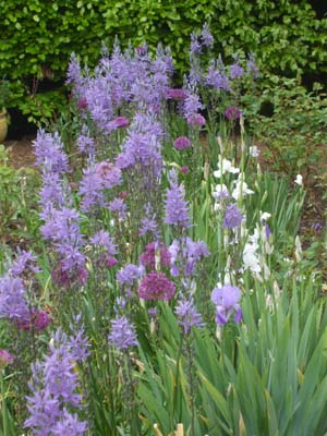 Camassia, Allium and iris