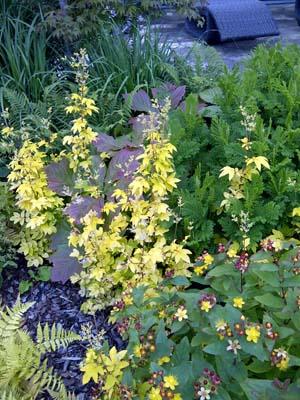 Filipendula Aurea, Tansy and Hypericum androasaemum