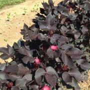 black nigra ornamental cotton plant gardening