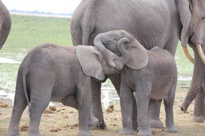 Elephants in Amboseli National Park, Kenya - Photo Credit, Credit Julian Blanc