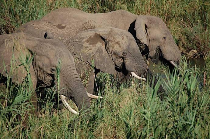 Elephants in Kruger National Park, South Africa - Photo Credit Julian Blanc