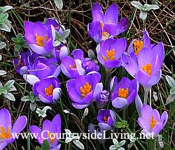 Крокусы - первые весенние цветы (первоцветы)