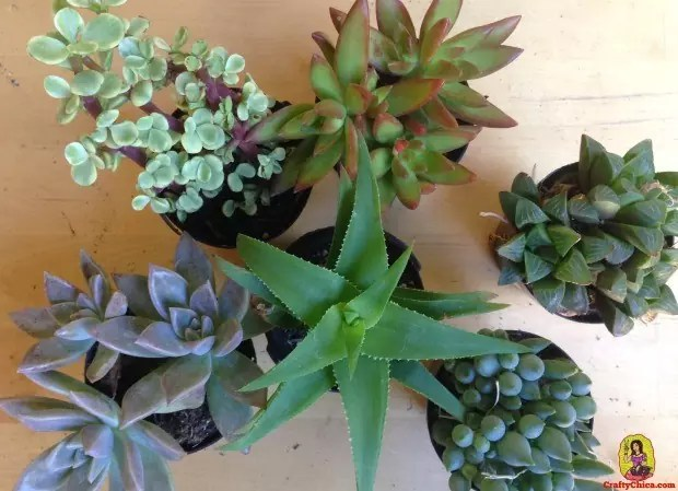 Succulents to make coffee cup planters, by CraftyChica.com