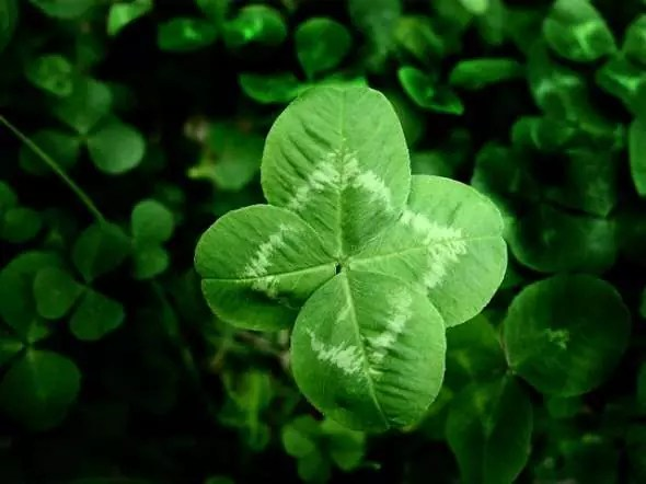 four-leaf-clover-picture