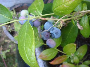 Blueberries From Blossoms - Beholding His Glory