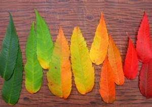 De ce isi schimba frunzele culoarea toamna? Experiment stiintific pentru copii curiosi