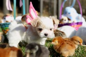 Puppy-Easter