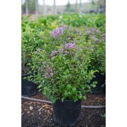 Small Crop Of Dwarf Korean Lilac Tree