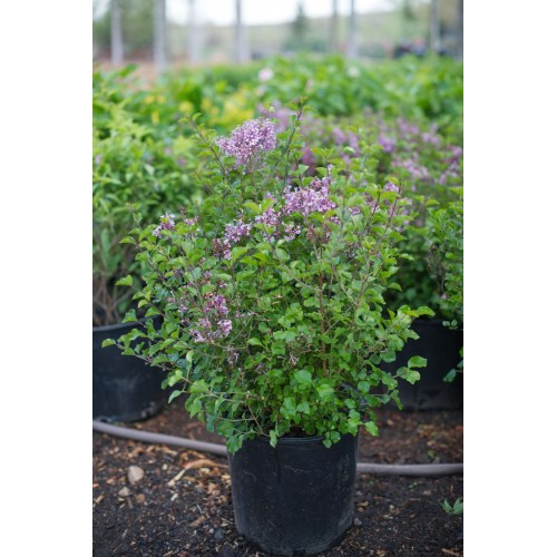 Medium Crop Of Dwarf Korean Lilac Tree