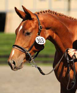 Warmbloods for Sale