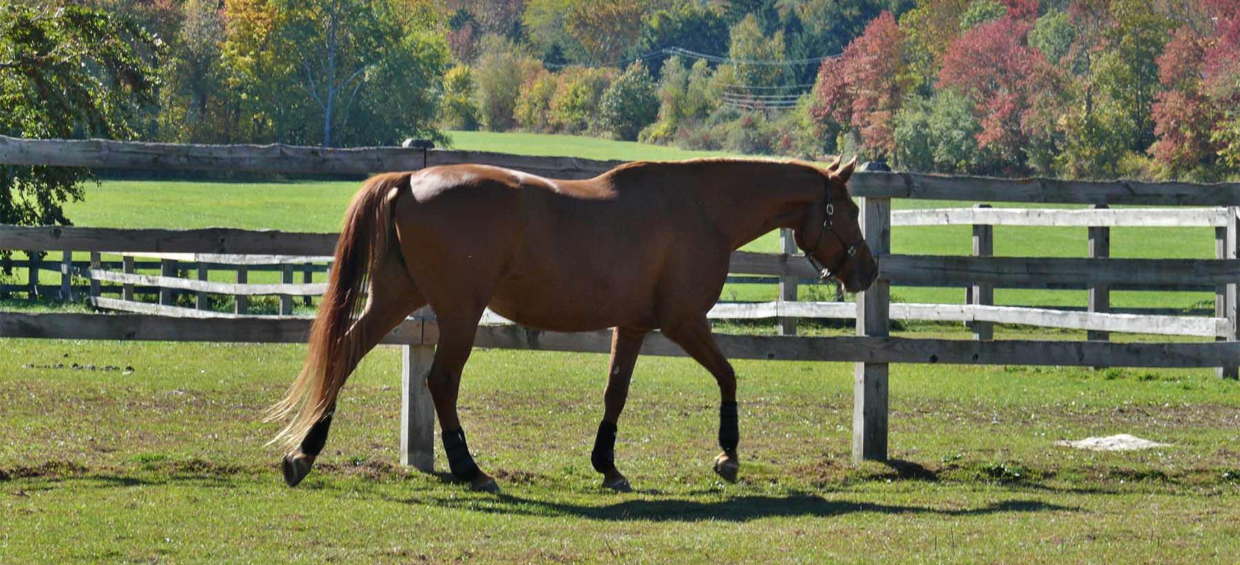 Chestnut Warmblood Mare
